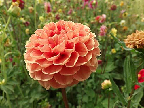 Hohe Ball-Dahlie Cvs Mischfarben-Kaktus-Dahlien Gefüllte Blüte Blume 300 Samen