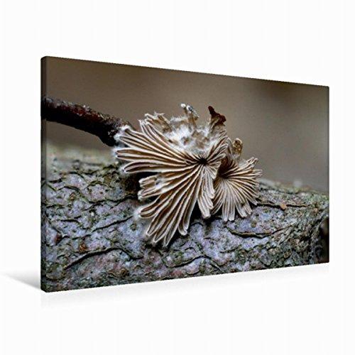 CALVENDO Premium Textil-Leinwand 90 cm x 60 cm quer, EIN Motiv aus dem Kalender Kleine Pilzkostbarkeiten   Wandbild, Bild auf Keilrahmen, Fertigbild auf echter Leinwand, Leinwanddruck Natur Natur