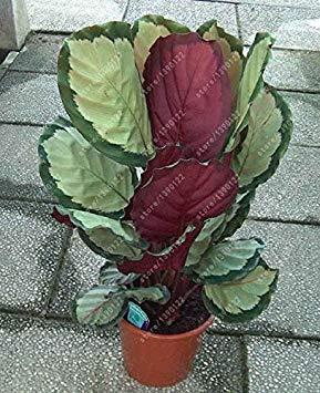 Vistaric 100 pcs/sac graines de plantes de caladium, Burnt Rose (jio ying) oreille d'éléphant belles graines de fleurs d'arbres de bonsaï en plante en pot herbe 12