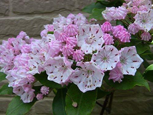 Montagne Laurel Fleurs rares graines de Kalmia latifolia graines jardin Bonsai DIY plante facile à l'usine
