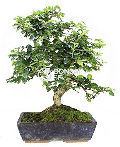 Bonsai - Carmona, 16 Años (Bonsai Sei - Carmona Microphylla)