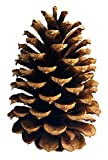 """20 PineCones 3"""" to 4"""" Tall Bulk Package All Natural, Bug Free, and Perfect for Crafting for Home Accent Decor Pine Cones - UNSCENTED (20)"""