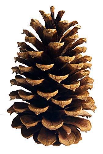 24 PineCones 3