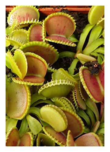 """Venus-Fliegenfalle""""Coquillage"""" - Muschel / 10 Samen/inkl.Karnivorenerde (Dionaea muscipula)"""