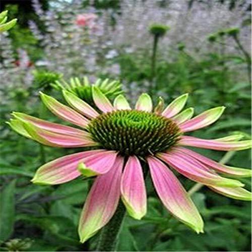 SVI frais 100 PCS Echinacea échinacée fleur rose pour la plantation SEEDS vert