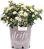 Drift Popcorn Rose, 2 Gal