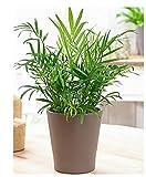 10 graines de Plante d'Appartement Chamaedorea minipalm - plantes vivaces