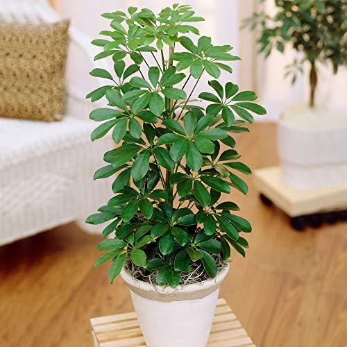 1 x Schefflera Nora Dwarf Umbrella Plant | Premium Compact Houseplant for Sale | 40-50cm with Pot
