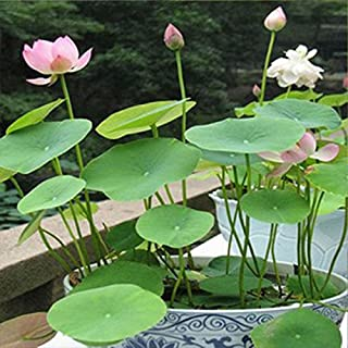TOPmountain 20Pcs Hydroponic Flowers Small Water Lily Seeds Mini Lotus Seeds Bonsai Seeds Hydrophyte Indoor and Outdoor Potted Flowers Bowl Lotus Flowers(4 Pack)