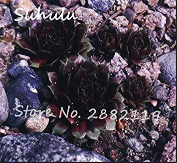 Pas cher 150 Pcs Mini Garden Succulentes Cactus Graines Variées Plantes vivaces Sempervivum Incroyable Maison Poireaux facile Live Forever 20 Cultivez