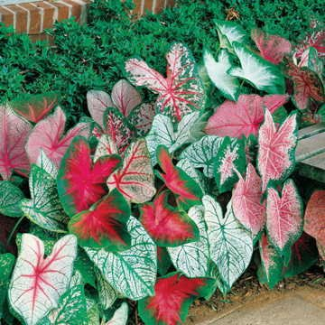 Caladium Tropical Mix(12 Bulbs) Rich red Foliage with Contrasting Green Borders