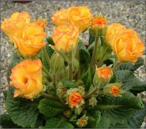 Rose graines Primula 50pcs rares graines de fleurs de bonsaïs d'intérieur pétales doubles graines Primrose de plantes en pot en plein air pour le jardin de la maison 4