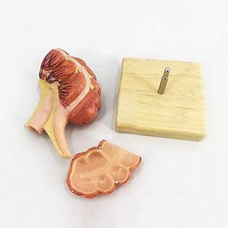 人間の盲腸盲腸付録の教育モデル解剖学的モデル上行回腸回腸リンパ管モデル