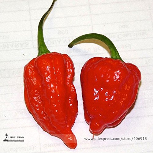 50 rares fantômes Indian Chili Pepper Seeds, le plus chaud au poivre dans le monde! Scoville Unit Plus de 1.000.000! 100% Vrai Graines e3112