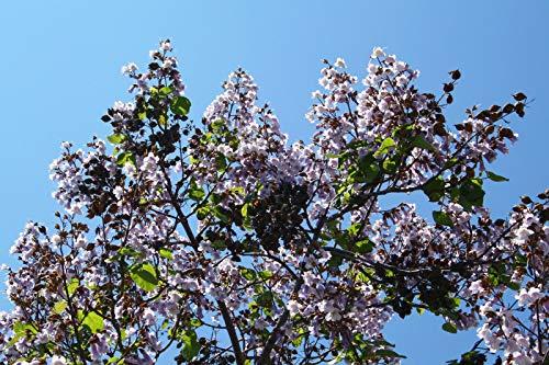 Blauglockenbaum Paulownia elongata...