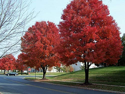 20 piezas americanas semillas de arce rojo semillas del árbol de arce para el establecimiento del jardín de casa sea fácil crecer las semillas de árboles muy raros