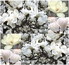 4 Packs x 5 Yulan Magnolia, Magnolia denudata, Tree Seeds Showy Fragrant Flowers - Official City Flower of Shanghai - Zone 6-9 - by MySeeds.Co