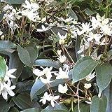 Clematide Armandii (Clematis sempreverde) - Clematis Armandii Rampicante Sempreverde Colore del fiore: Bianco Grandezza del fiore: 4-5 centimetro | Altezza pianta adulta: 3-5 metro Periodo di fioritura: marzo - maggio