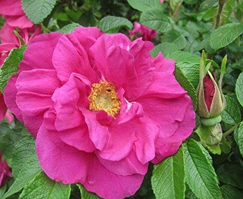 'Moje Hammarberg', Kleinstrauchrose (Rosa rugosa Hybride) im 4 Liter Container