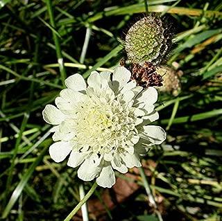 scabiosa ochroleuca seeds