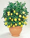 Semillas de limonero enano adecuadas Bonsai de Pinkdose® (paquete 0F 5)