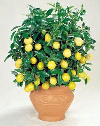 Semillas de limonero enano adecuadas Bonsai de Pinkdose® (paquete 0F