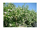 Scented Evergreen Climber, Moth Plant, Cruel Climber, ARAUJIA SERICIFERA, Drought Tolerant Shrub, 30-40cm Tall