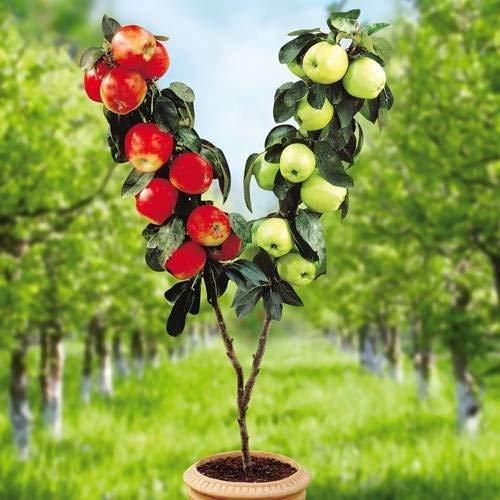 Masoke Samenhaus - 20 Stück Zwergapfelbaum rot, Bio-Obstpflanze Zwergapfelbaum süßer Apfel Jonagold auf Stiel für Garten, Bauernhof