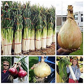 Keimfutter: Grün: 100Pcs Seltene Riesen Knoblauch China Grüne Zwiebel Gemüsesamen Topf Leek Seed in B
