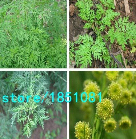 Shopvise Artemisia Seca Annua Tea 100 Natural Herbal Qing HAO Enfriamiento en...