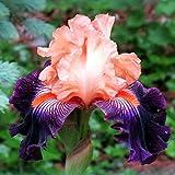 Schwertlilie Blumenzwiebeln Zwiebeln Bearded Iris Wurzeln/Blumenzwiebeln, holländische Iris Blumenzwiebeln, mehrschichtig, für den Balkon, Bonsai - 5-bulbs