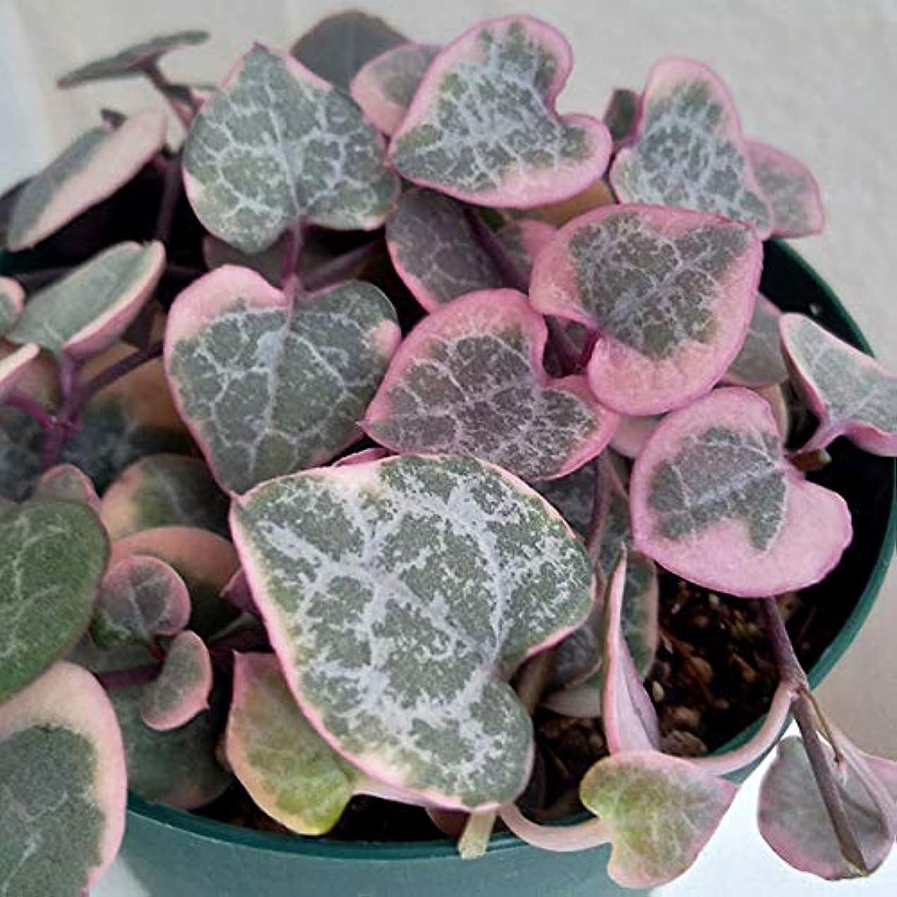 快いしないノミネートハートカズラ(セロペギア?ウッディ):レディハート3号ポット 2株セット[ホワイトピンクのハート形の葉が可愛いつる性植物!]