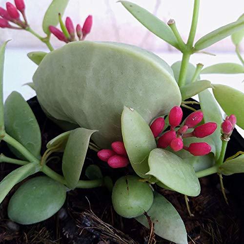 ディスキディア:カンガルーポケット2.5号ポット貯水嚢つき[赤い花が可愛い!葉っぱが袋になる観葉植物]