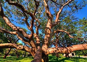 50個の種子Bursera Simaruba GumboLimbo熱帯広葉樹レア開花レアツリー