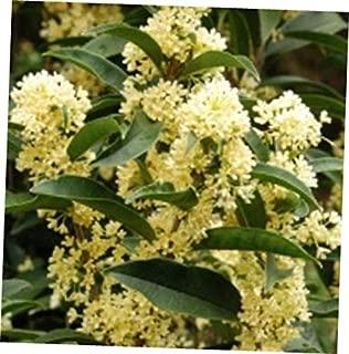 GIA 1 Live Plant - Quart Pot Fudingzhu Fragrant Tea Olive (osmanthus) - RK148