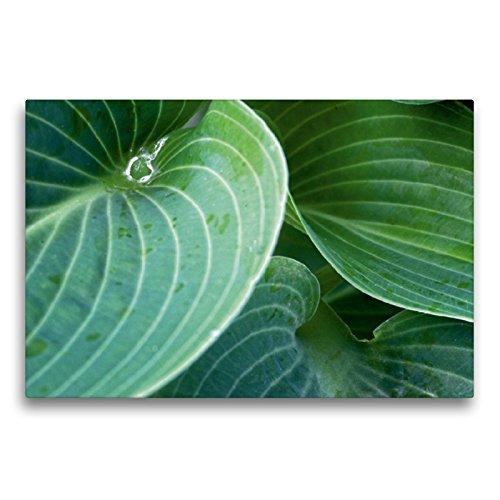 CALVENDO Premium Textil-Leinwand 75 x 50 cm Quer-Format Grüne Hosta Blätter, Leinwanddruck von Martina Cross