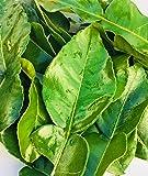 KEJORA Fresh Lime Leaves (1 LB) - Grown in California, USA