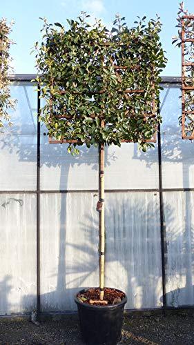 Spalier BIO Photinia Fraseri 340 cm Red Robin Glanzmispel 120x120 cm Sichtschutz Hecke auf Stamm