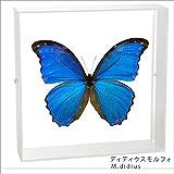 蝶の標本 ディディウスモルフォ Morpho didius モルフォチョウ アクリルフレーム 白