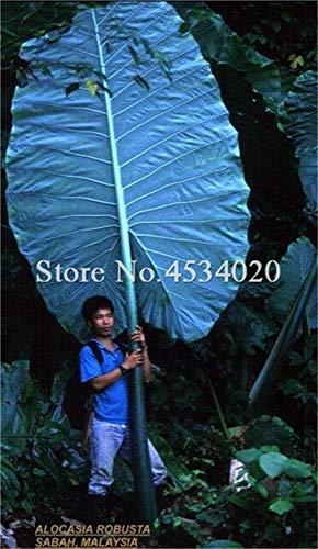 100Pcs Bonsai Caladium Pflanzen, Burnt Rose Elefantenohr Schöne Bonsai-Baum-Blumen Flores Topfpflanze Kräuter, die Budding Rate 97%: 17