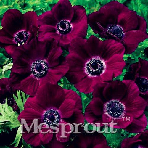 50PCS unico 12diversi colori giapponese Anemone semi di fiori piantare ufficio mini-plants