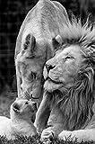 Familia de leones africanos carteles e impresiones artísticos en lienzo en blanco y negro imágenes d...