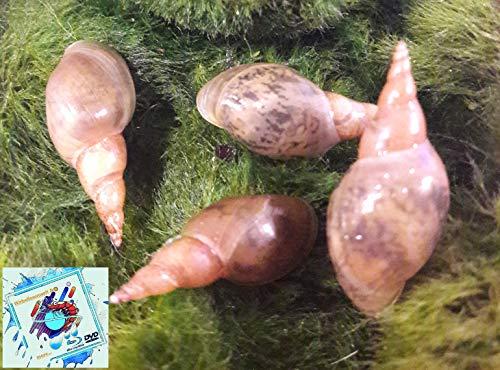 Wasserfarm & Evil Wear Aquarium Teich Schnecken 4X Laubfresser Süsswasser Bengal Teufel Schnecke?