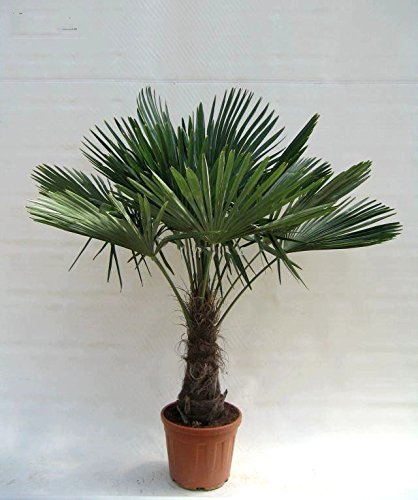 Winterharte Hanfpalme - Trachycarpus fortunei (150-180cm Stamm 40-50cm im 20Ltr. Topf)