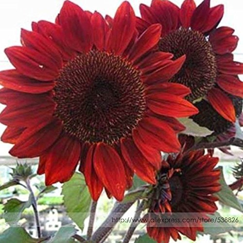 Big Sale! 200 Pcs / lot Red Light bord Carnation Seeds Potted Courtyard Garden Plantes Graines Dianthus caryophyllus Fleur, # 037M26