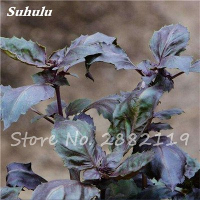500 Pcs Violet Basil Sweet Seeds Aromatique Ocimum basilicum Graines de légumes biologiques parfumantes pour jardin Plantes Livraison gratuite 5