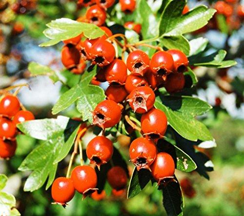 VEG SRLS Pianta da frutto ALBERO DI AZZERUOLO CRETESE A RADICE NUDA - 1 METRO pianta vera