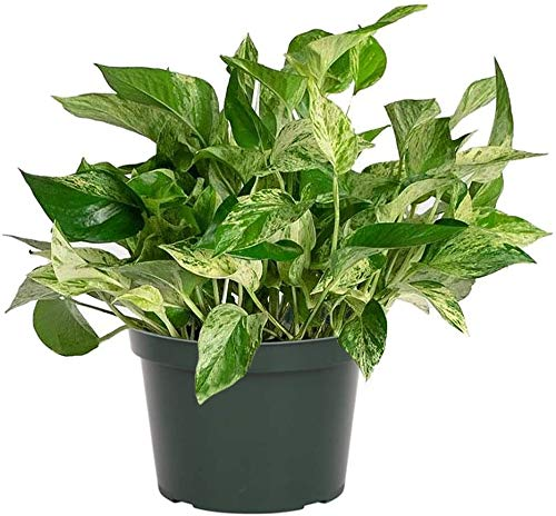 AMERICAN PLANT EXCHANGE Marble Queen Pothos Easy Care Live Plant, 6