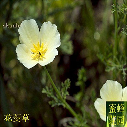 Vente d'été réguliers embellissant exclus limité dans le temps Tempéré Balcon Petit Mini semences Importations Jinye graines de ginseng 100 4
