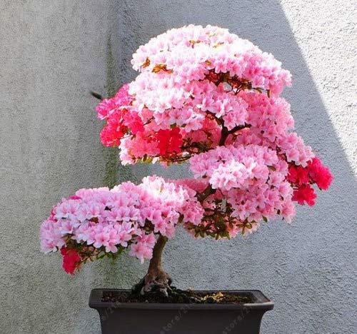 SONIRY 10 pcs/Sac Sakura Multi-Couleur, bonsaïs Arbre Sakura Fleur Fleurs de Cerisier Plantes en Pot pour Miniature: 8